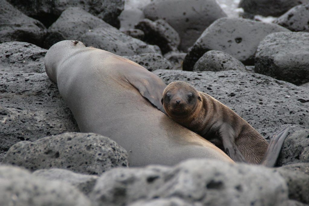 A mother sea lion sleeps on a group of black rocks with her pup next to her.