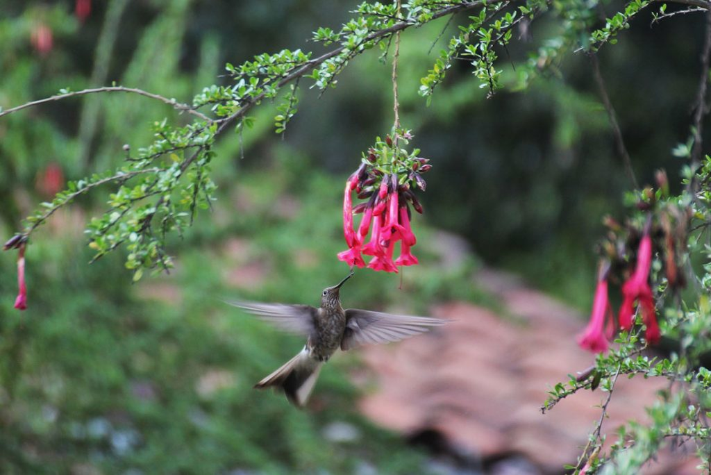 A giant hummingbird fluttering beneath bright pink flowers.