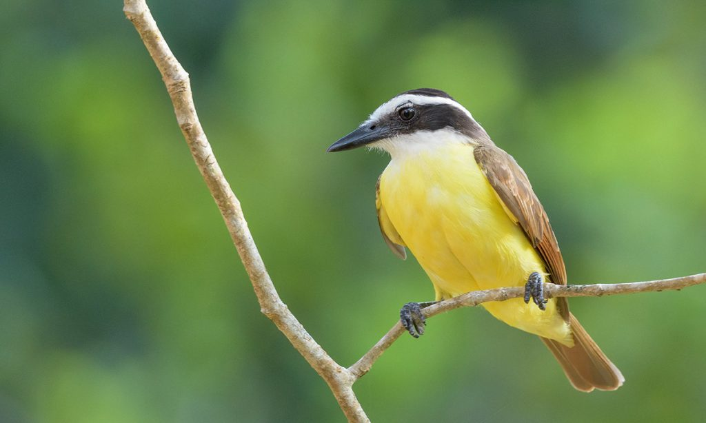 A great kiskadee sitting on a thin twig facing leftward with bright green background.