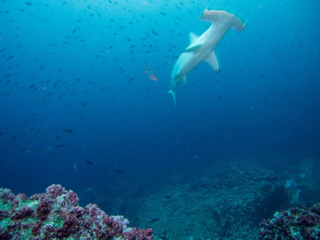 A hammerhead shark swims in front of a school of small fish above a rocky ocean floor with reddish purple coral.