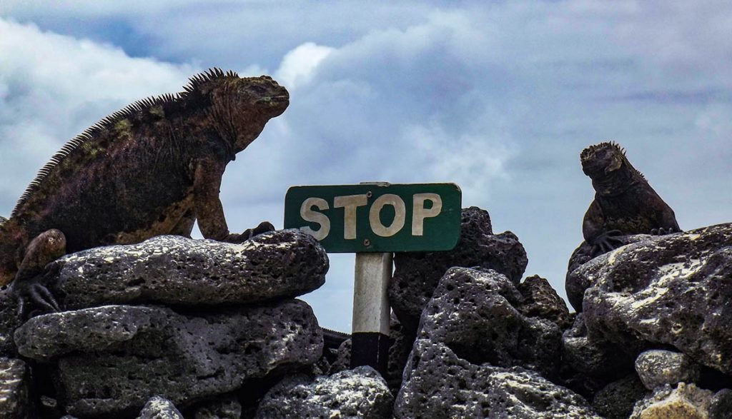 Two Iguanas perching on rocks with a green stop sign between them and cloudy skies above.