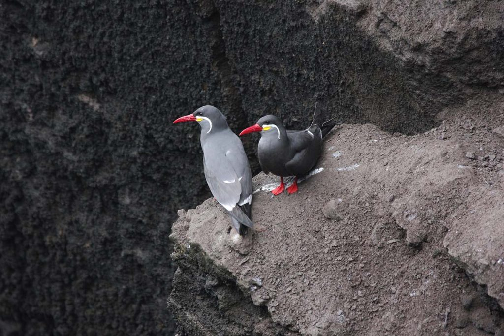 A pair of Inca Terns rest on brown, dusty rocks in Pucusana, Peru, facing leftward.