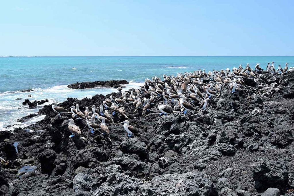 A flock of blue footed boobies stand on jagged black lava rocks that lead up to a bright turquoise ocean on a sunny day.