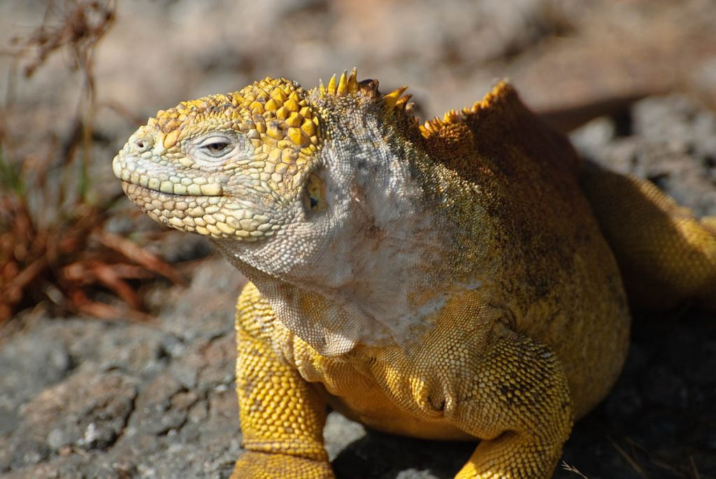 A bright yellow land iguana stands on a rocky gray and brown surface next to a reddish plant.