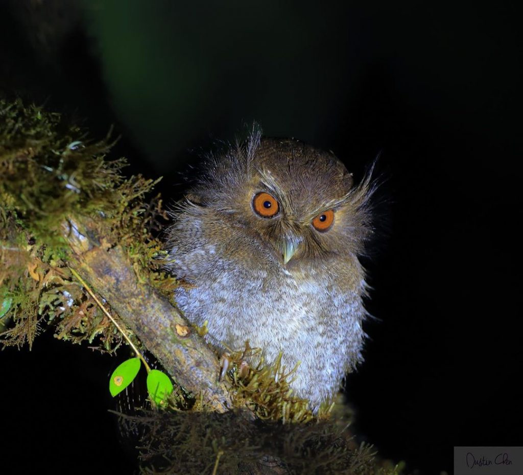 A spotlight shines on an orange-eyed Long-whiskered Owlet  perched on a lichen-covered branch at nighttime in northern Peru.