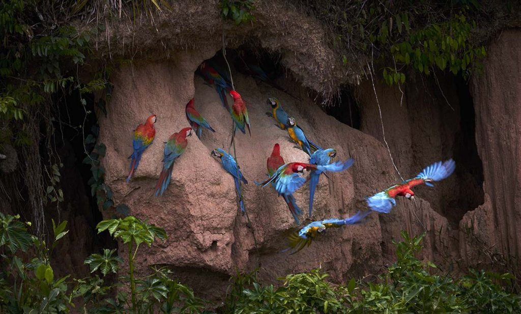 Scarlet Macaws, Red-and-green Macaws, and Blue-and-yellow Macaws are grouped together at a clay lick and surrounded by foliage in Peru's Tambopata National Reserve.