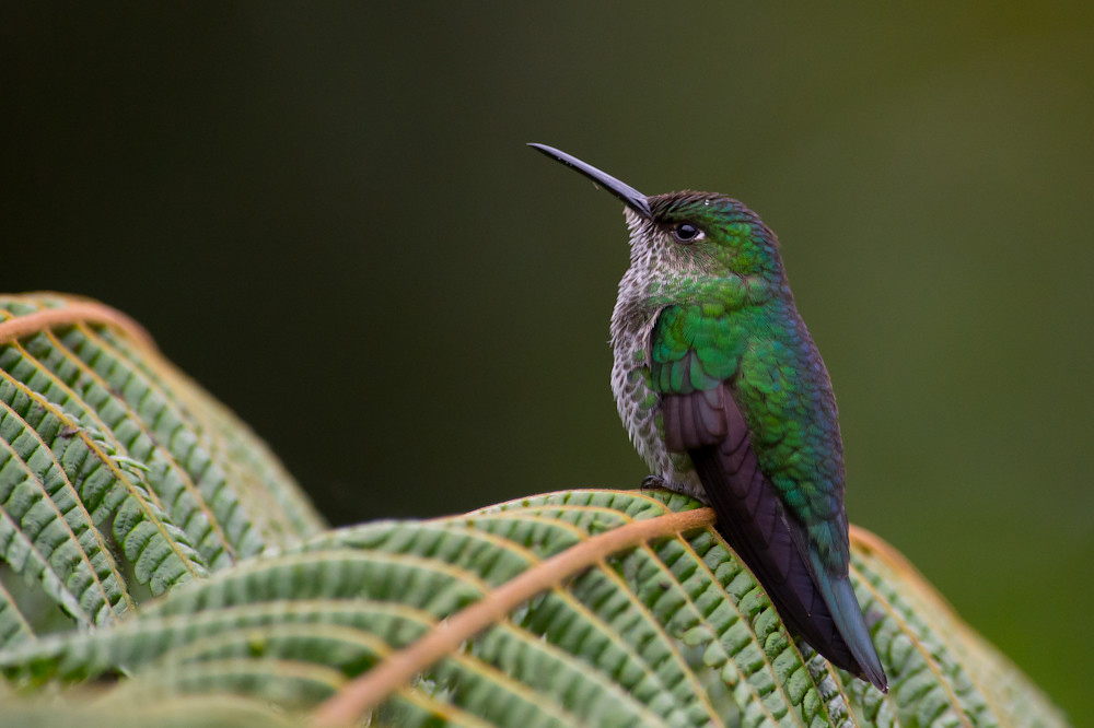 Profile of a many-spotted hummingbird resting on a leaf facing leftward with dark olive green and black gradient background.