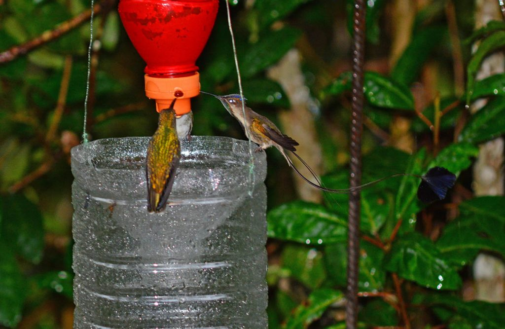 A marvellous spatuletail hummingbrd with other hummingbird at a feeder.