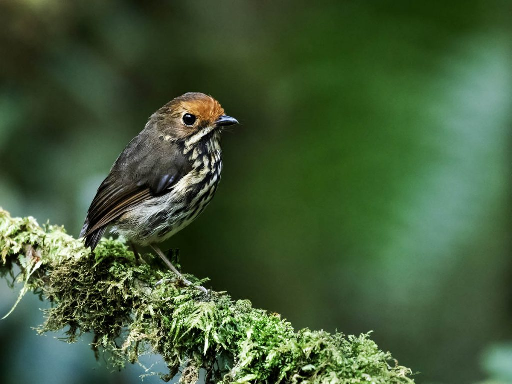 An ochre-fronted antpitta sitting on a lichen-covered branch facing rightward with dark green background.