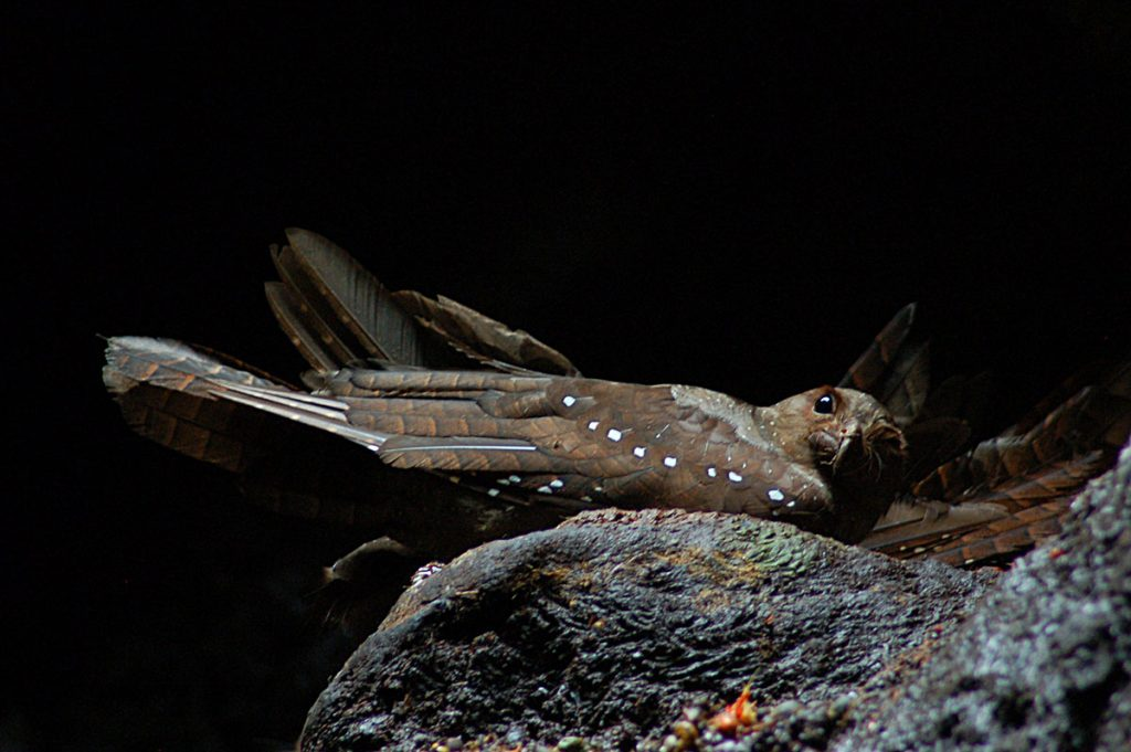 An oilbird sitting on a rock facing rightward with black background.