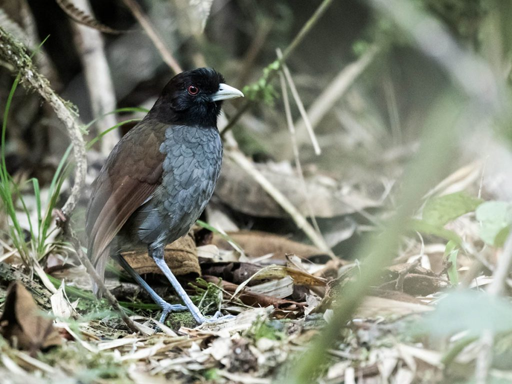 A pale-billed antpitta resting on the foliage-covered ground facing leftward.