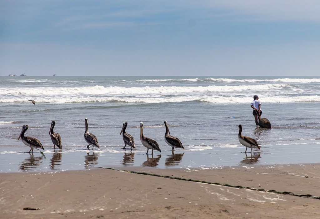 Seven pelicans and a fisherman on Pimentel Beach in front of the ocean.