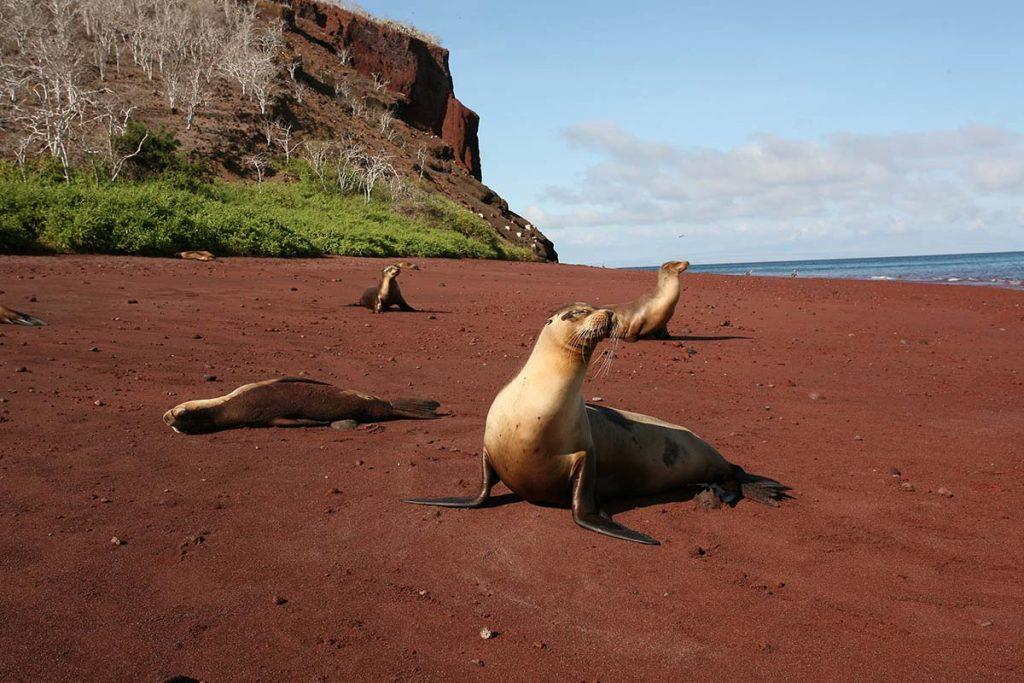 A sea lion poses on its front flippers on a red sand beach with several other sea lions napping behind it.