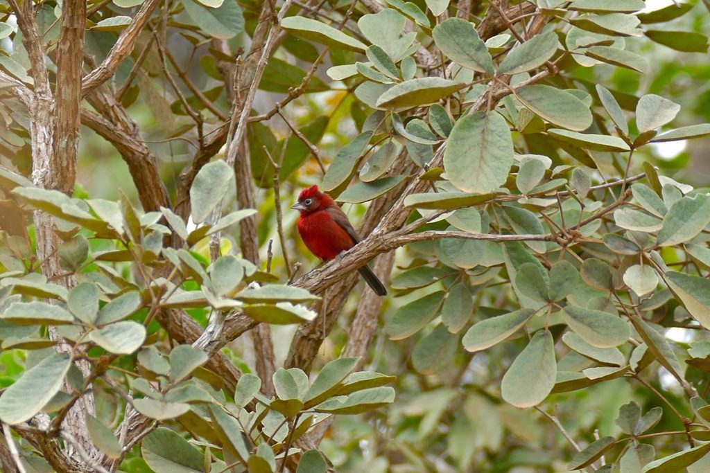 A red pileated finch sitting on a branch surrounded by pale green foliage.