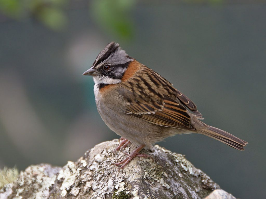 A rufous-collared sparrow sitting on a lichen-covered rock facing leftward with gray background.