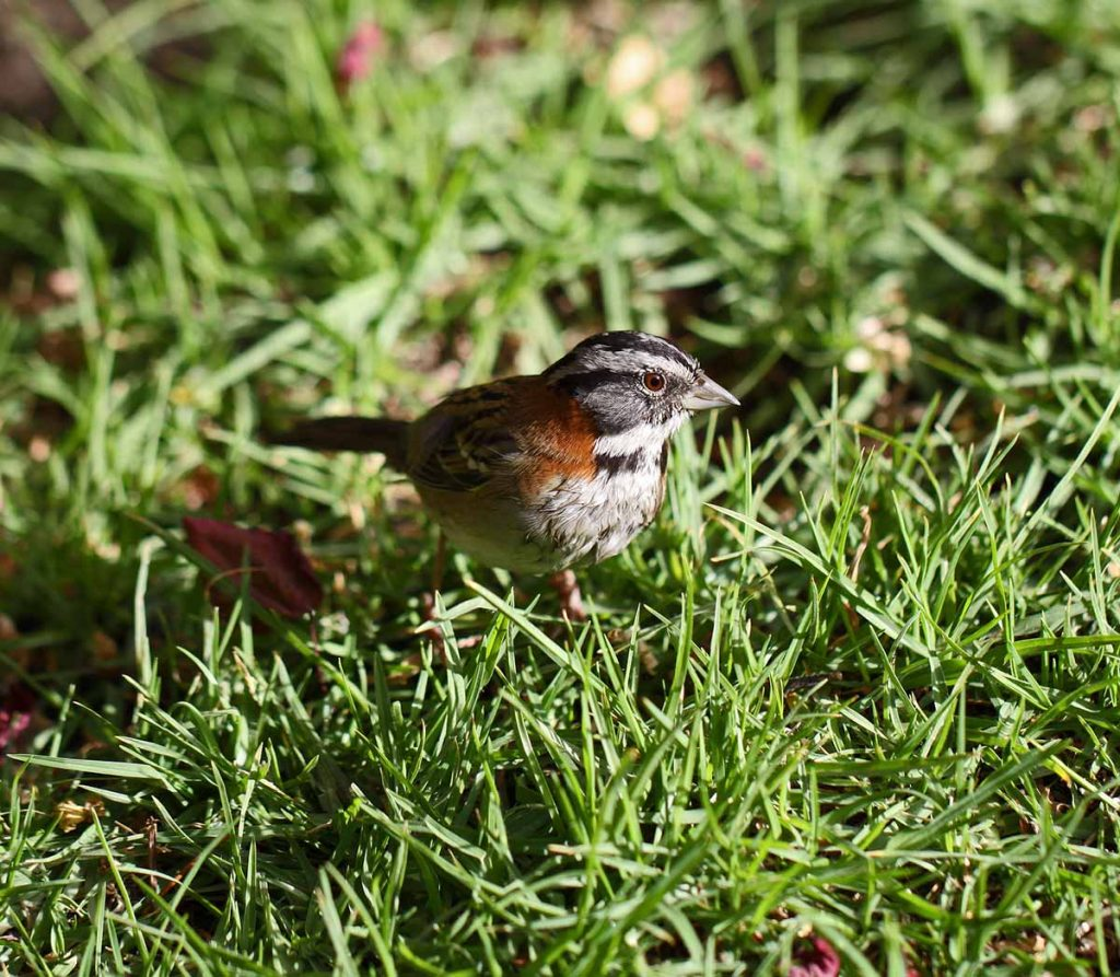 A rufous-collared sparrow in bright green grass.