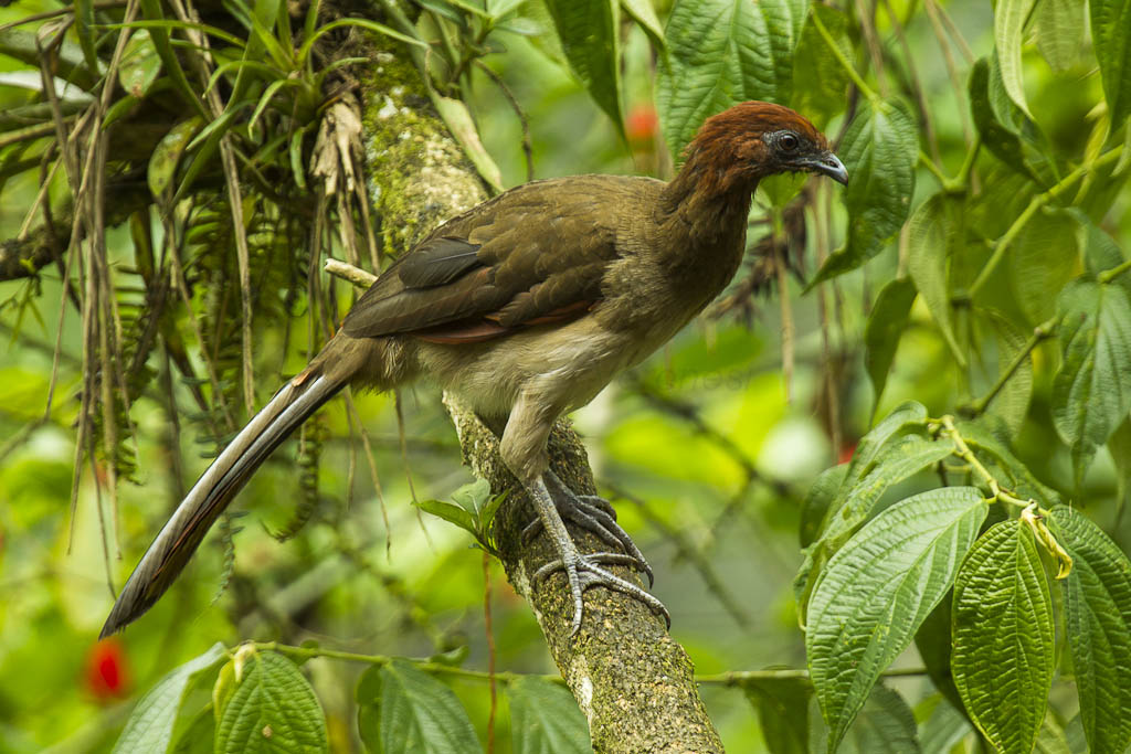 A rufous-headed chachalaca on a thick branch in a lush area facing rightward.