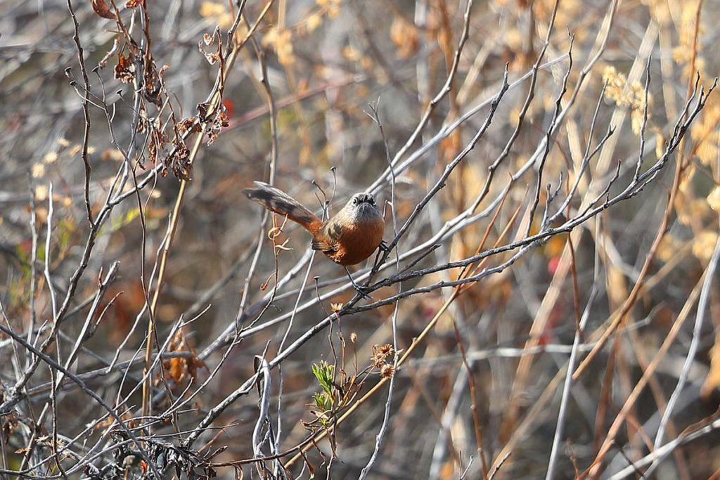A russet-bellied spinetail on a bush's twig centered and facing the camera.