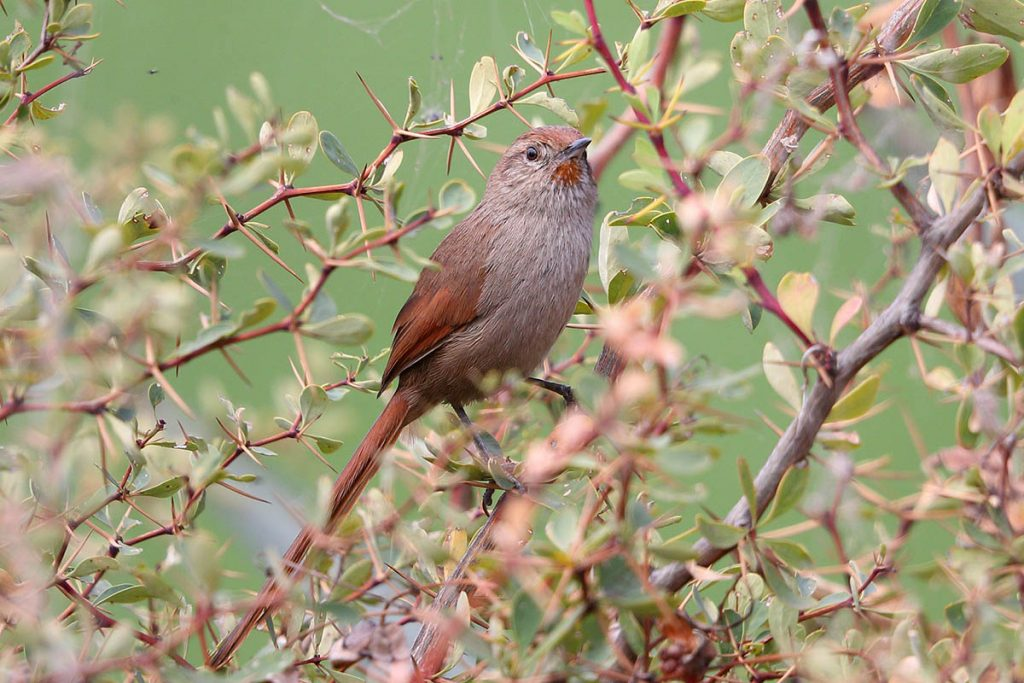 A rusty-fronted canastero sitting on  twigs with a bright olive green background.