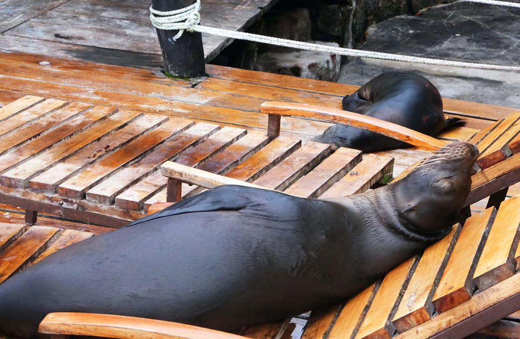 Two sea lions napping on a wooden deck with a wooden lounge chair.