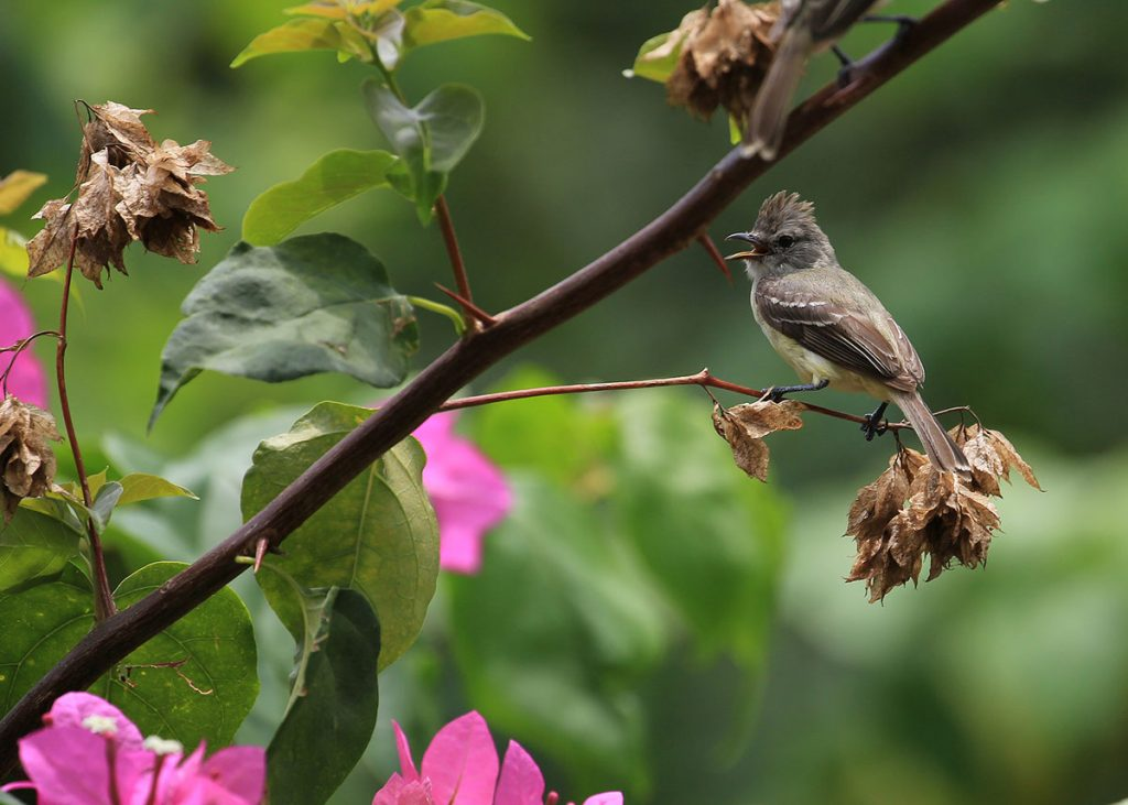 A southern beardless tyrannulet sitting on a twig facing leftward with pink flowers and green leaves.