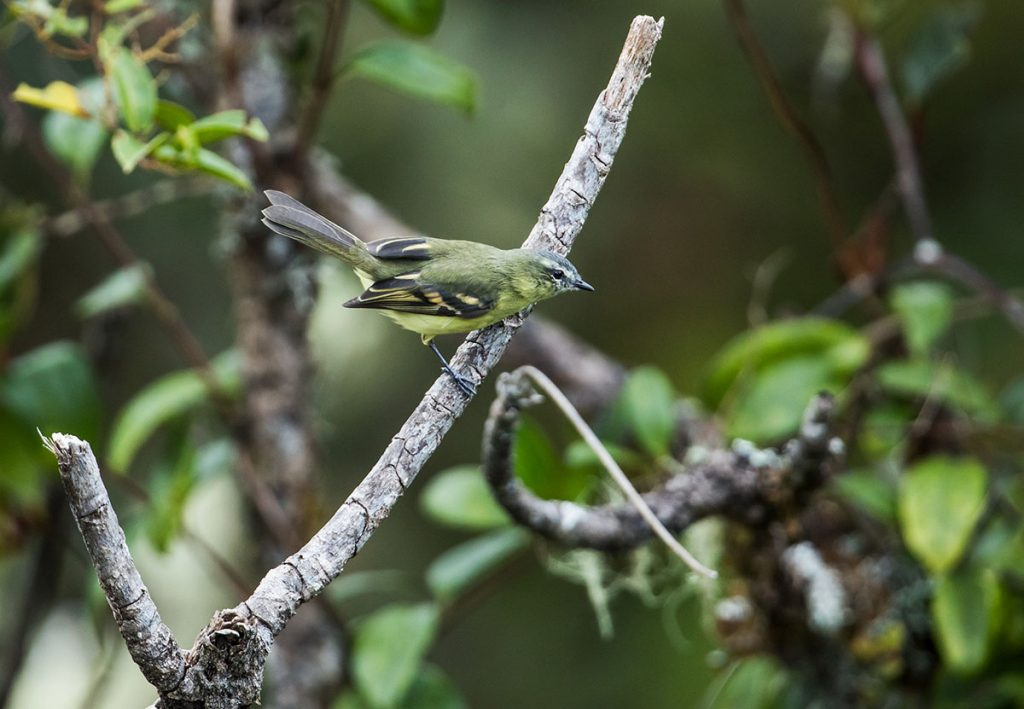 A sulphur-bellied tyrannulet resting on a branch facing rightward with other branches in the background.