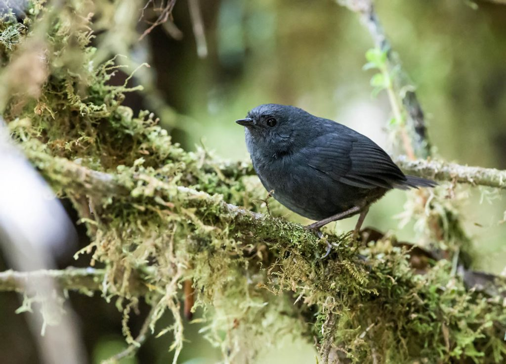 A Tschudi's tapaculo sitting on a lichen-covered branch facing leftward.