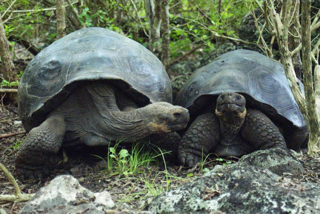 Two giant tortoises next to each other in a forest, one of them leaning its head towards the other.