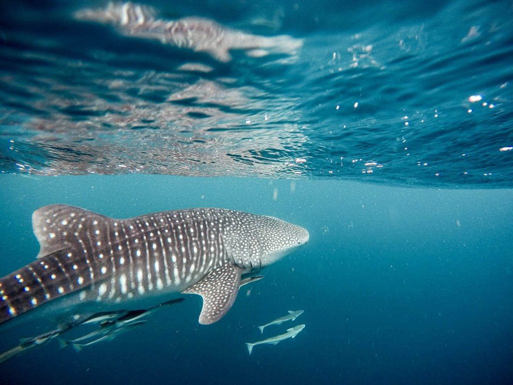 A few long fish swim below a whale shark who cruises by the water's break while a couple more swim by its pectoral fin.