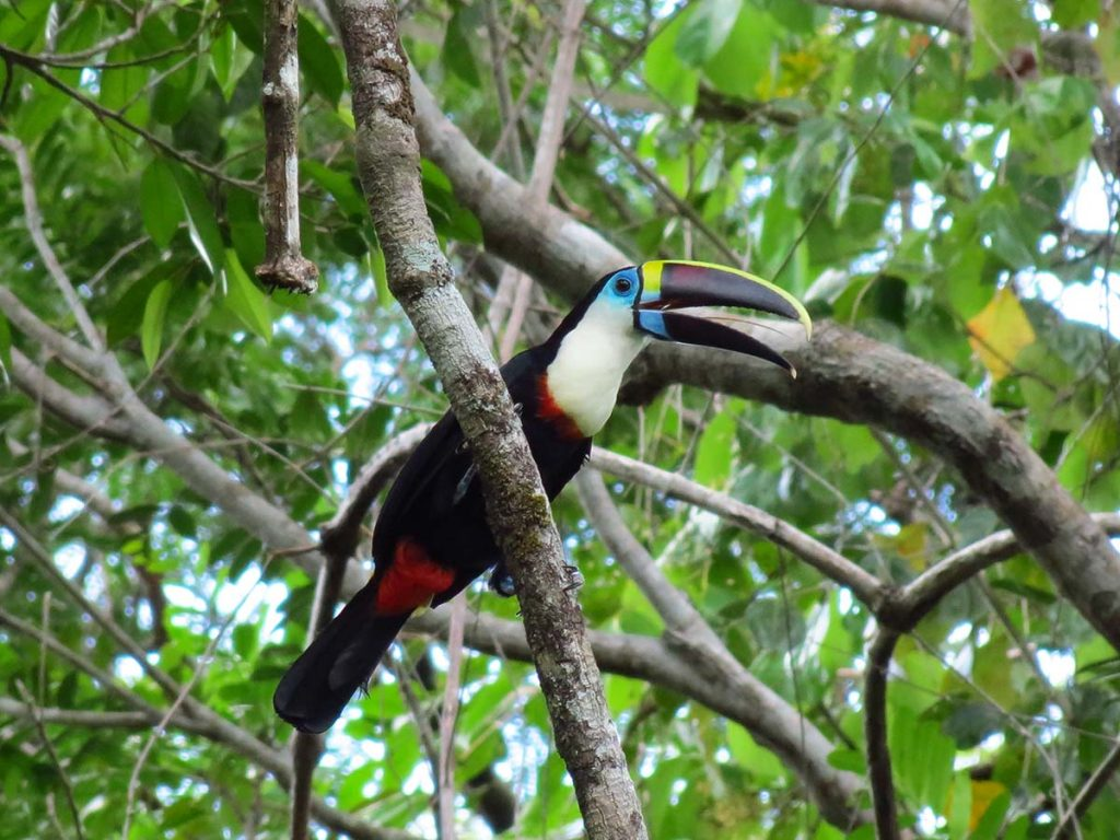 A white-throated toucan with its beak open, perched on a thick branch with green leaves in the background.
