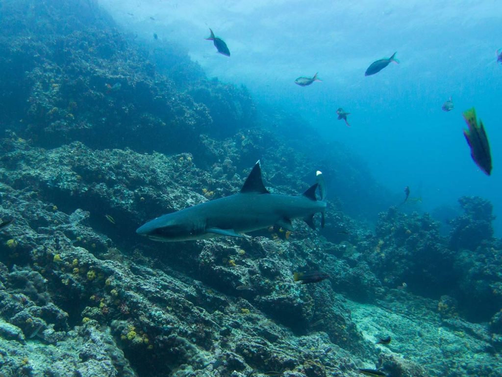 A whitetip reef shark swims in front of a rocky underwater hill with sparse coral with a few other fish above.