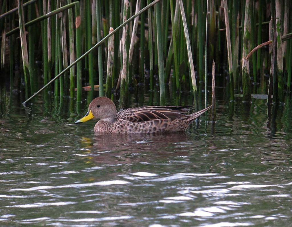 A yellow-billed pintail floating in a lake with reeds behind.