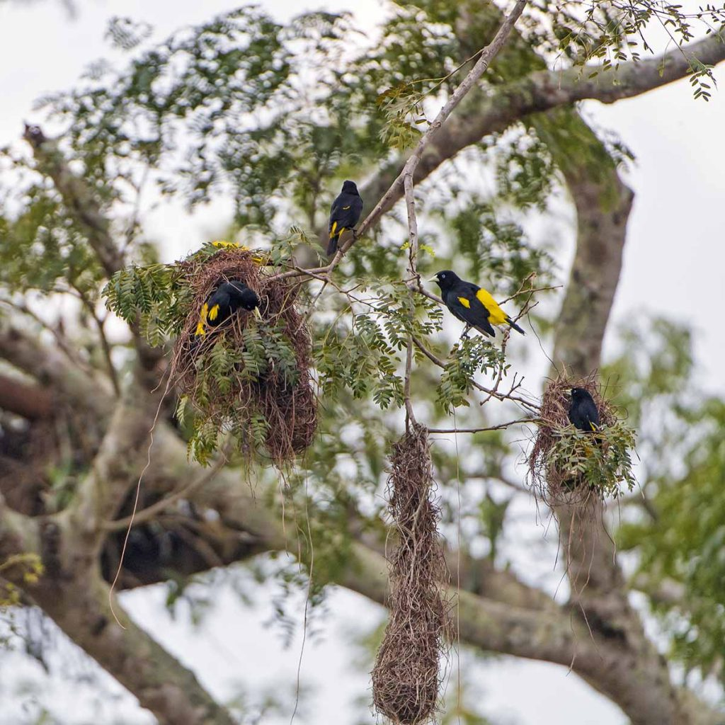 Four yellow-rumped caciques building three nests.