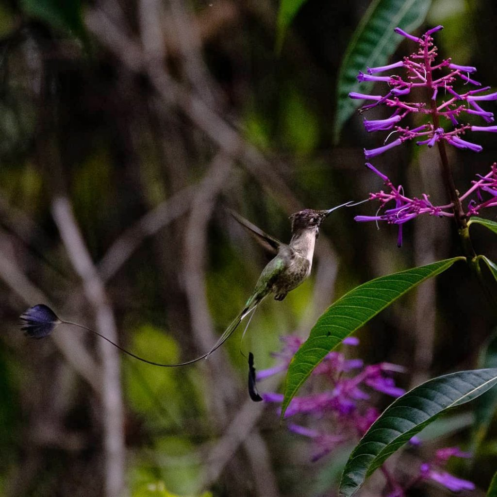 A Marvellous Spatuletail hummingbird hovers near a bright purple flower in northern Peru with its iconic tail in view.
